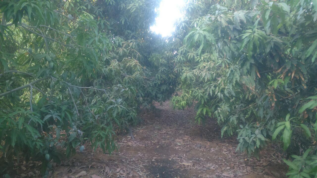 مزرعة مانجو مثمره